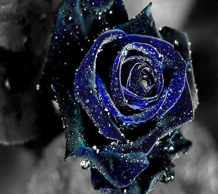 A Dark Blue Rose With Rain Drops Blue Roses Wallpaper