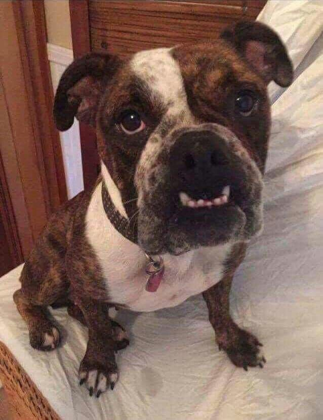 Duchess is a beautiful English bulldog mix who just is so sweet www.mutthutrescues.org