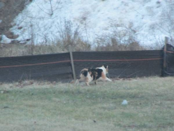 Spotted Calico cat near Citgo/Bloomfield (Blue Hills