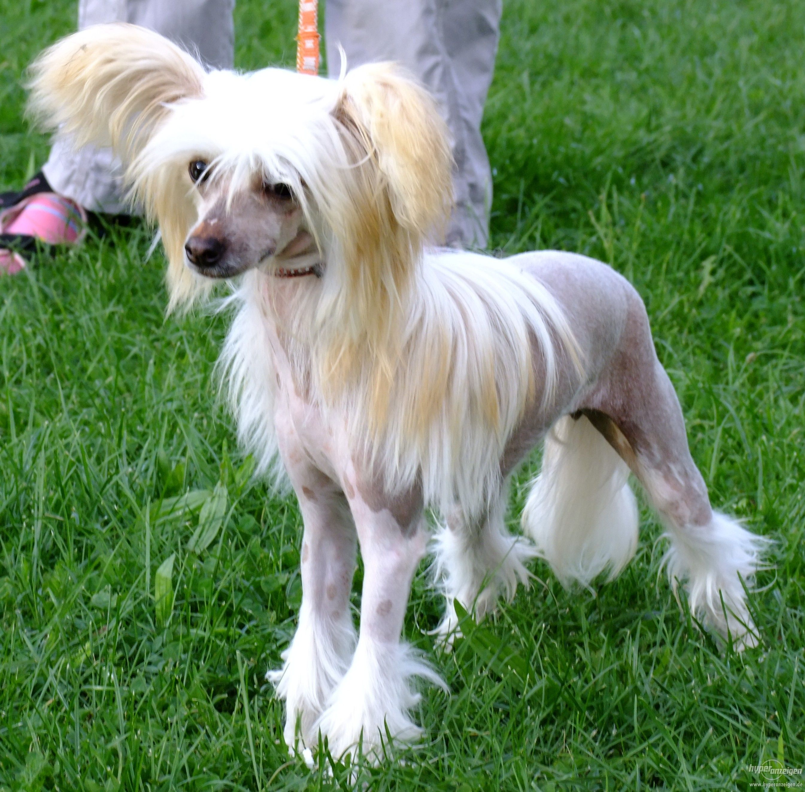 Breed Profile Chinese Crested Petparent Chinese Crested