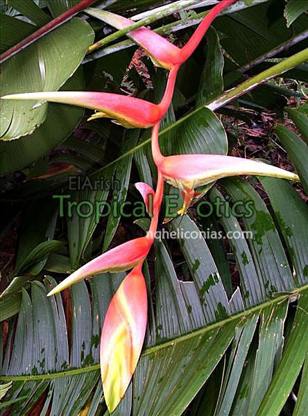 Heliconia chartacea x Heliconia platystachys 'Temptress' - suitable for SE Qld