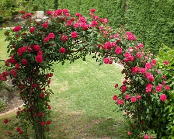 Don Juan Climbing Rose An Arch Wreathed In Roses Brings