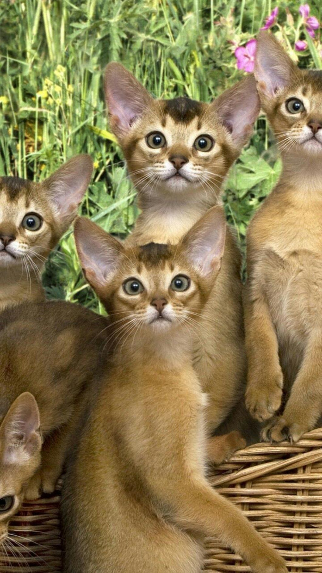 Pin by elaine estes on cats and kittens abyssinian cats
