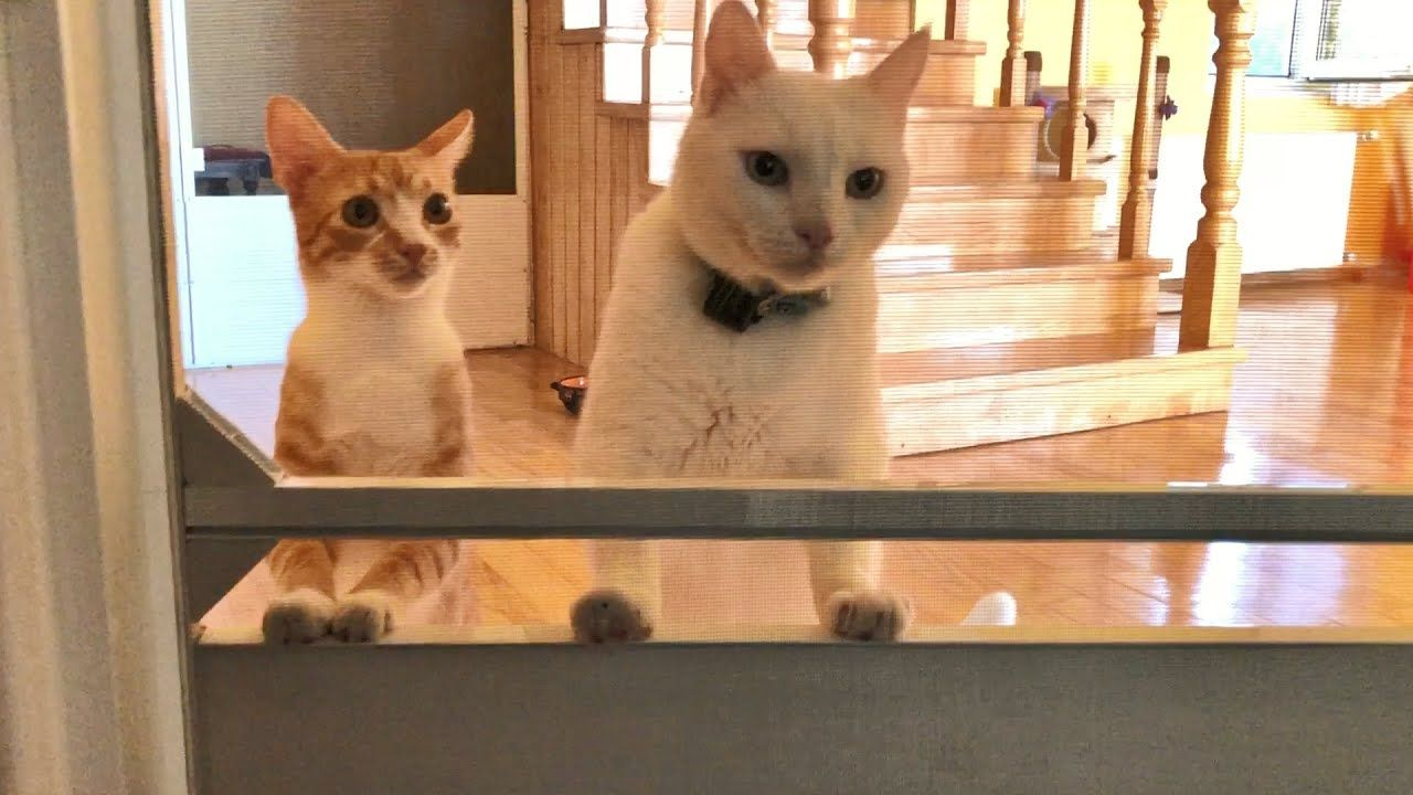 Kitten And Cat Like Brothers Youtube In 2020 Kittens Funny Cats Cute Cat Gif