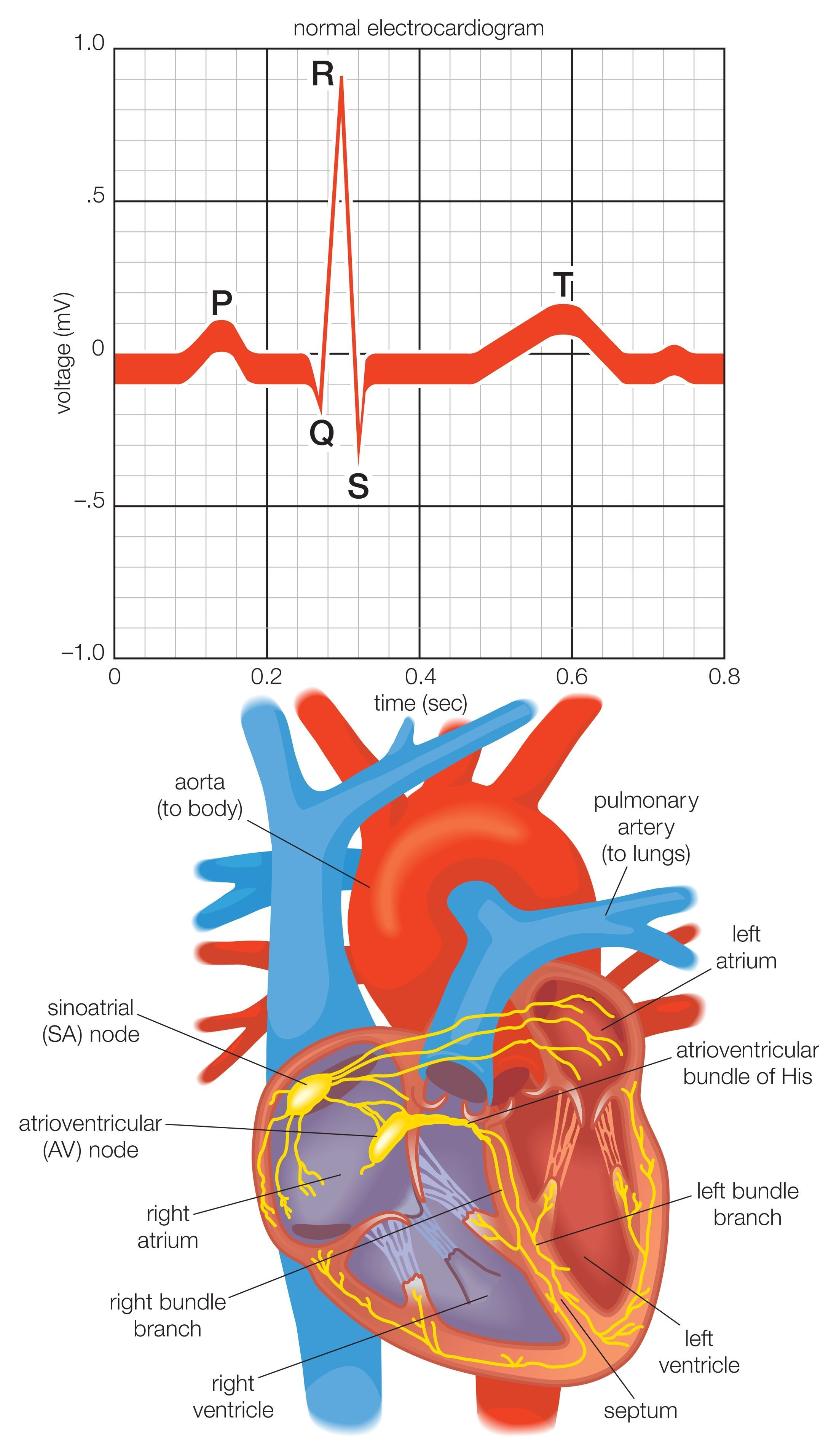 The cardiac electrical system is essential to cardiac ...