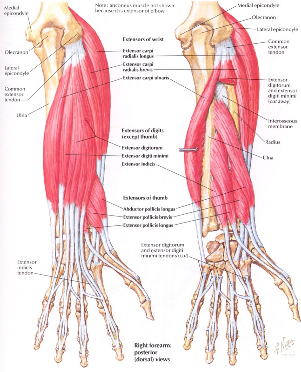 Posterior And Anterior Muscles Of The Forearm Anatomy Pinterest