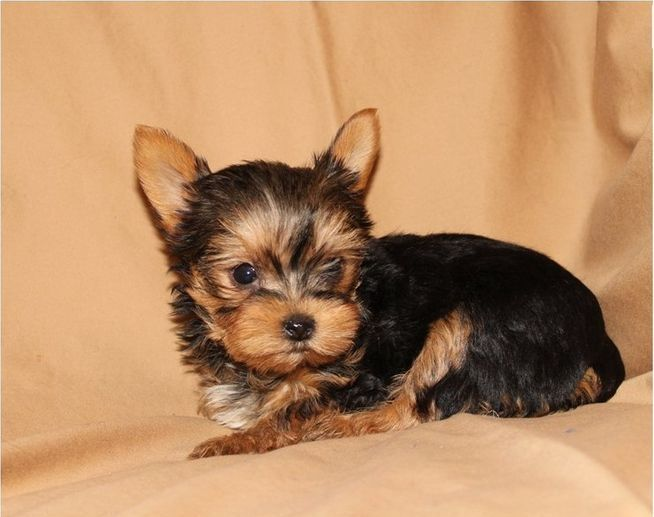 TeaCup Yorkie Puppies For Free Adoption Teacup