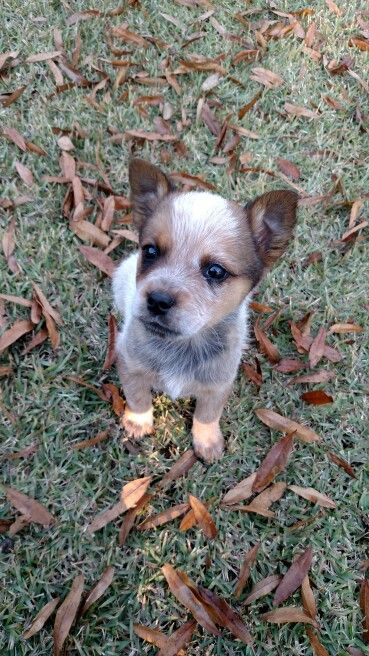 Australian Cattle Dog 7 Weeks Old Austrailian Cattle Dog Cattle Dogs Rule Heeler Puppies