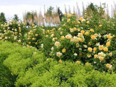 graham thomas rose david austin gardening roses. Black Bedroom Furniture Sets. Home Design Ideas