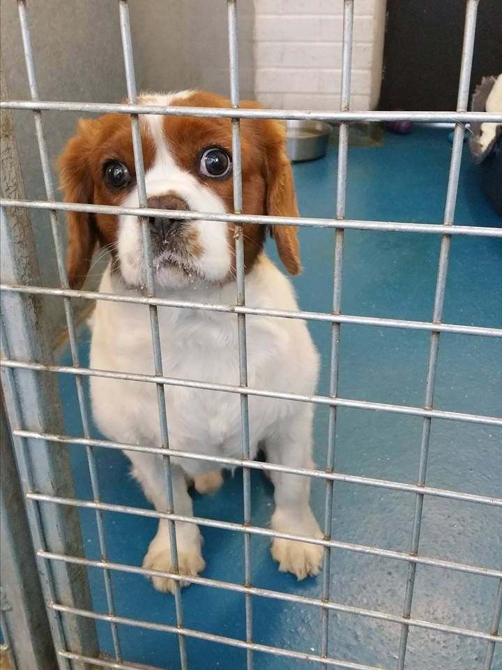 Found Dog Coventry West Midlands Lostbox Dogs Cavalier King Charles Spaniel King Charles Spaniel