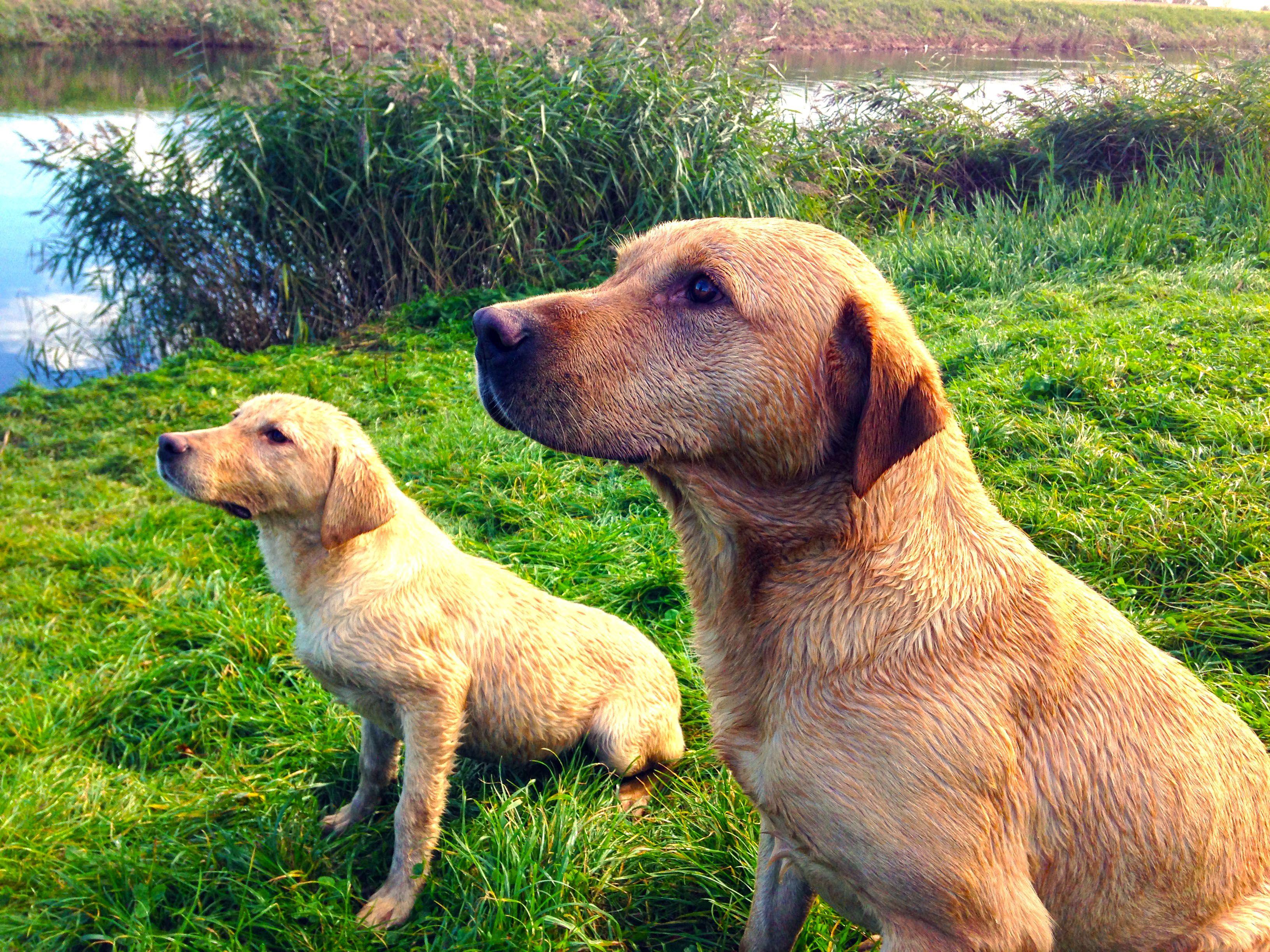 Duke And His Son Mac Labrador Swim Hdr Dog Training Labrador Yellow Labrador Labrador Retriever