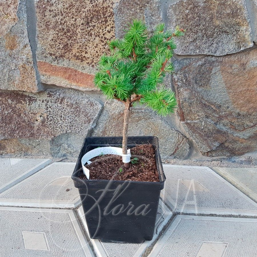 Филиал лиственница (Larix decidua Полоника) — Стоковое фото ...   900x900