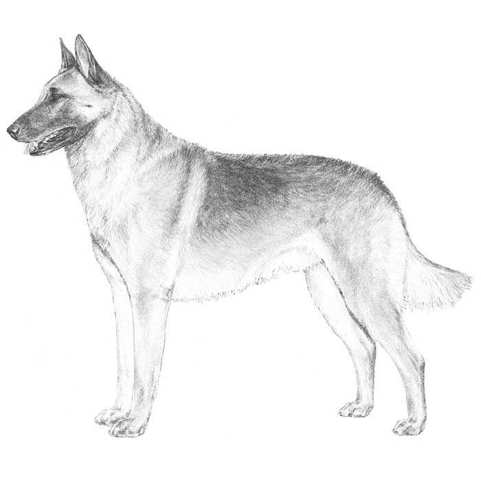 Belgian Malinois Dog Breed Information | Pinterest | Pastor belga ...