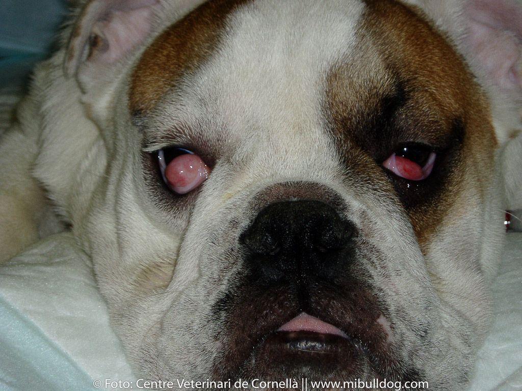 Prolapso De La Glandula Del Ojo Cherry Eye En El Bulldog