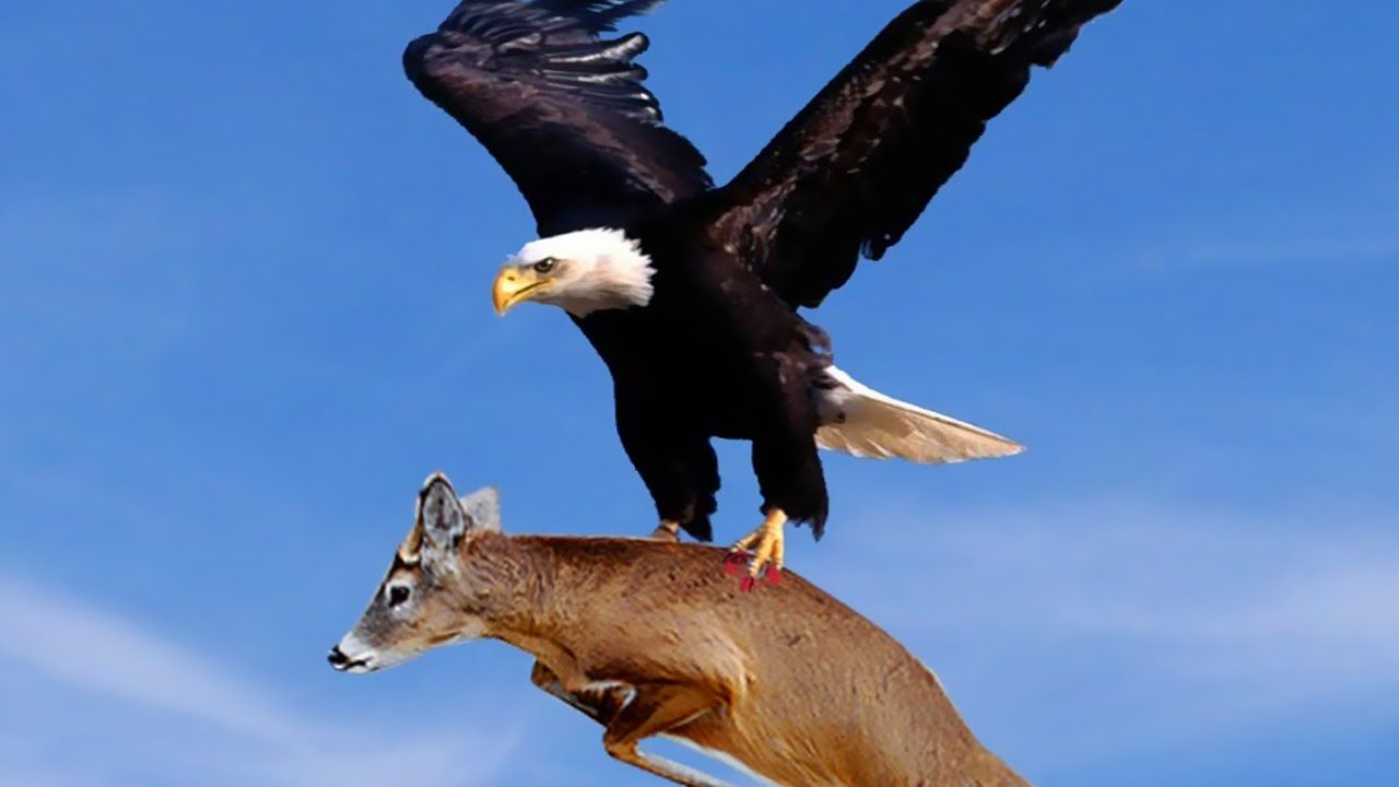 Best Eagle Attacks World S Largest And Deadliest Part 2 Bald And Golden Eagles Eagle Pictures Bald Eagle Eagle