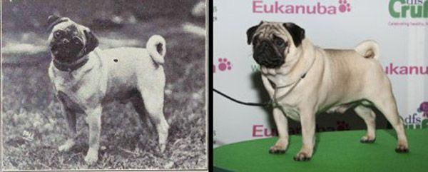 Here S What 100 Years Of Dog Breed Improvements Has Really Done