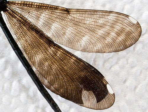 Dragonfly Wings, by Greg Booher