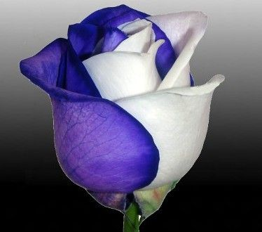 amazing two coloured rose my intent is to fill up facebook with