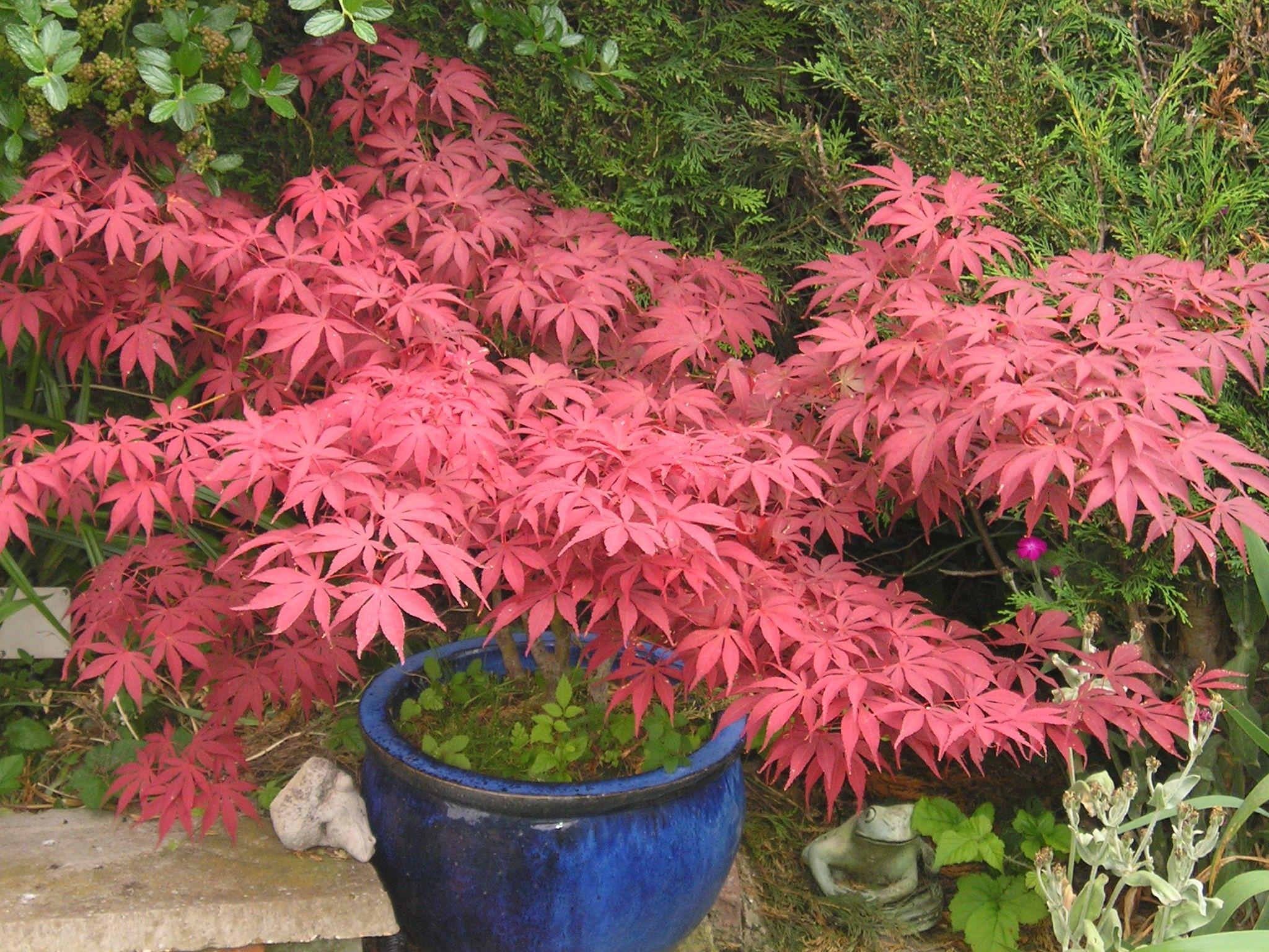 Compost De Feuilles D Érable japanese garden plants names | for more information about