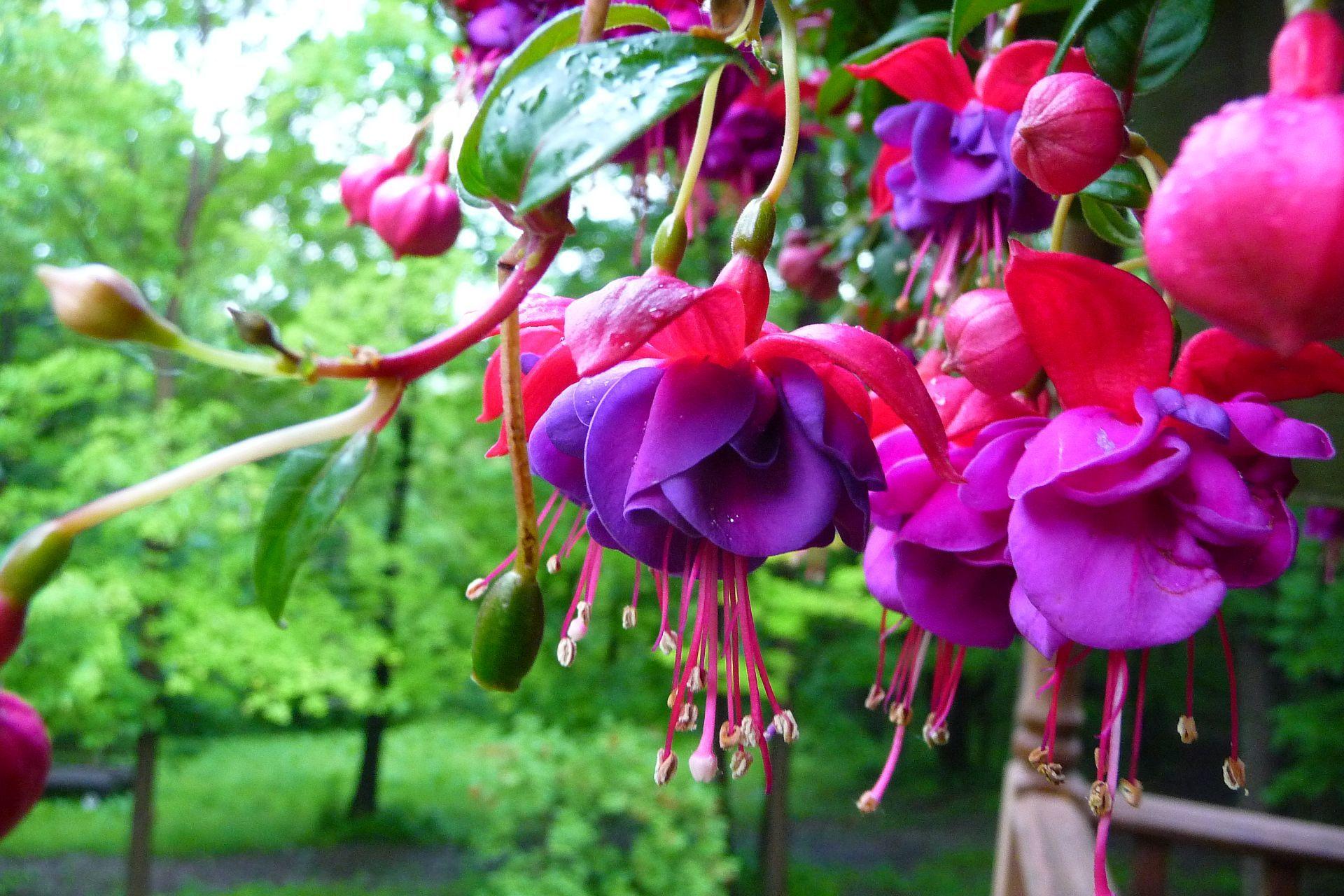 Peonies Changing Colors Fuchsia Plant Impatiens Flowers Fuchsia Flower