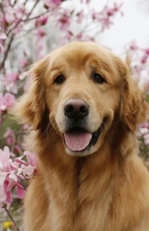 Pin By Deb Thompson On Golden Lab Dogs Golden Retriever Dogs