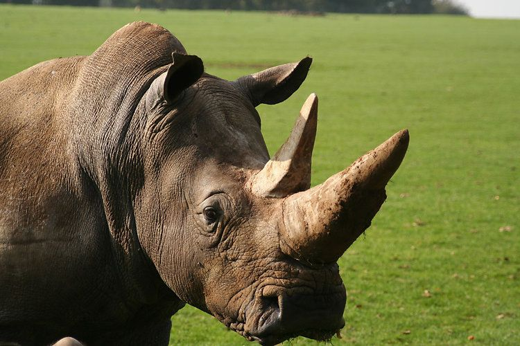 Could 3-D Printed Rhino Horns Put Poachers Out of Business?   GOOD
