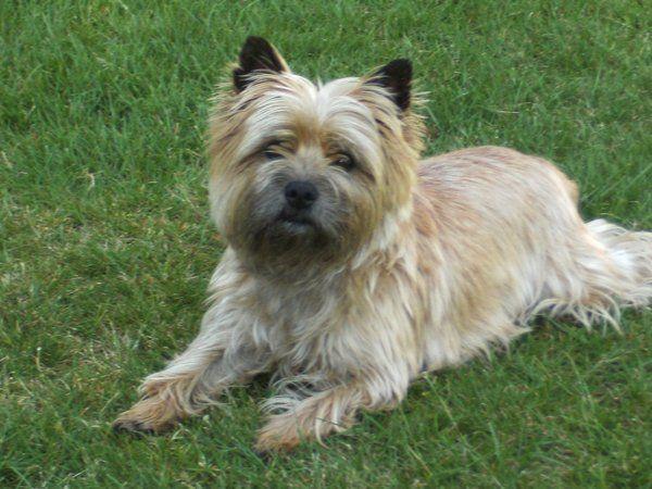 Cairn Terrier Cairn Terrier