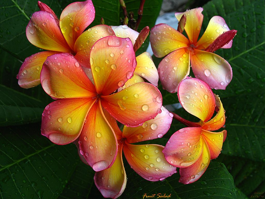 Plumeria flower here is the plumeria variety called jl fruit plumeria flower here is the plumeria variety called jl fruit salad izmirmasajfo