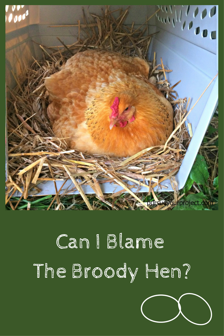Can I Blame the Broody Hen? (With images) | Chickens ...