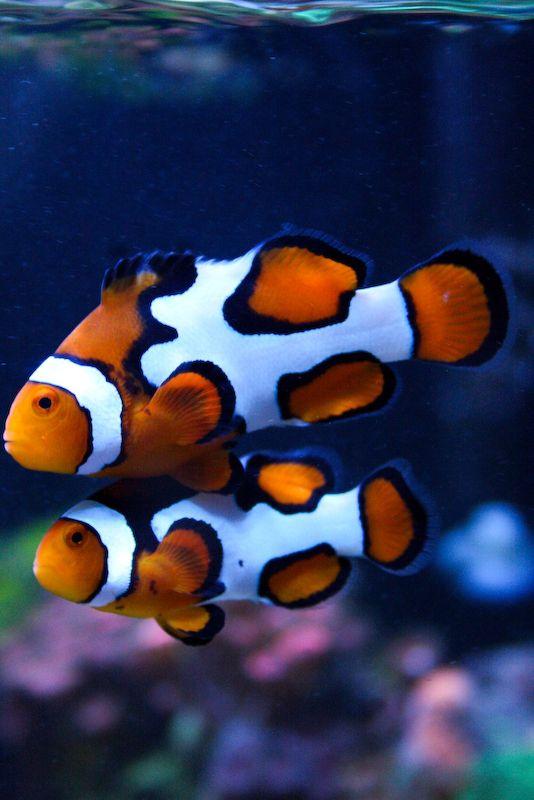 Picasso Clownfish Saltwater Fish Tanks Marine Fish Clown Fish