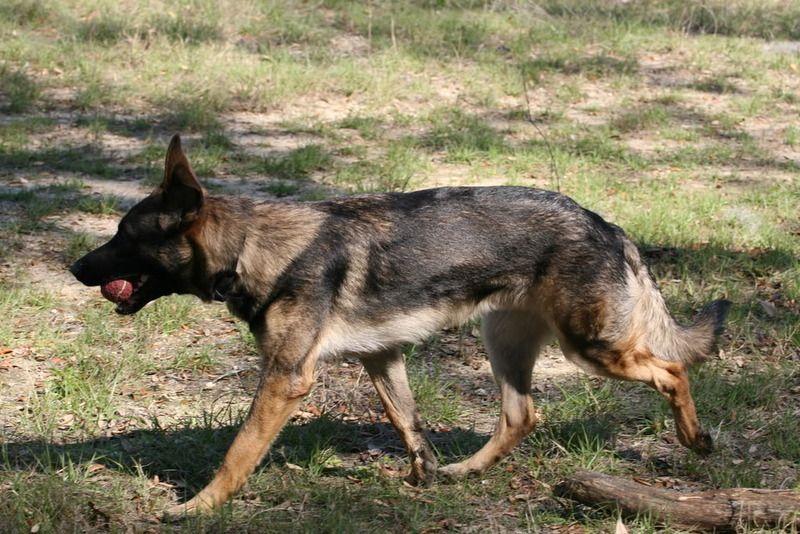 German Shepherd Dog Forums German Shepherd Dogs Shepherd Dog