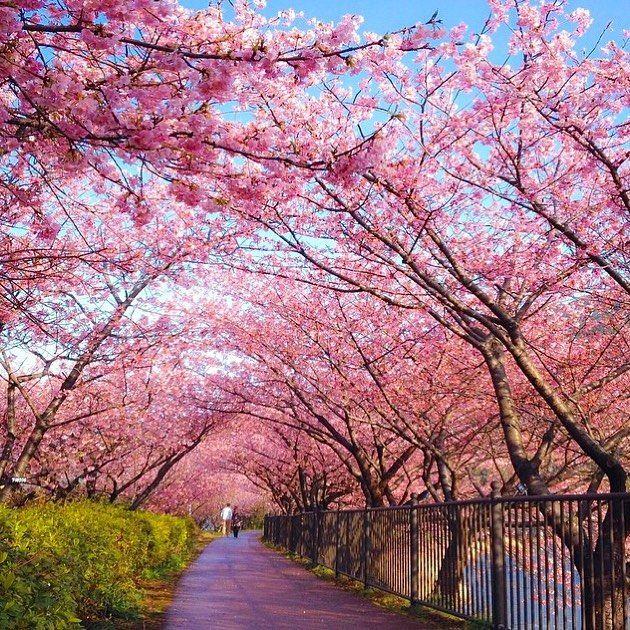 As cerejeiras em Shizuoka, no Japão.  Marque com quem você viajaria para este fantástico país cuja cultura milenar encontra-se enraizada na sociedade até os dias atuais. (Foto: @capkaieda )