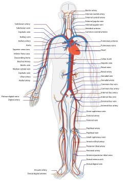 Circulatory System Wikipedia The Free Encyclopedia Human Circulatory System Human Anatomy And Physiology Medical Anatomy