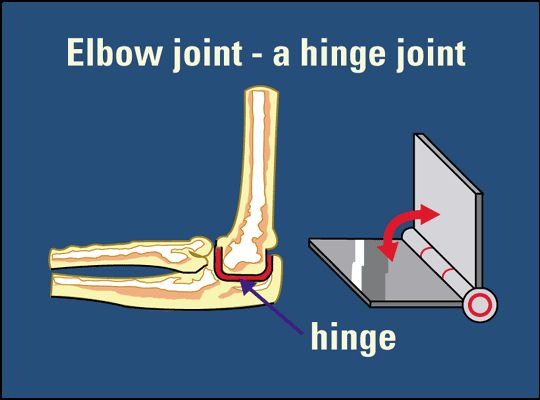 Hinge Joint Ginglymus Joint One Of Synovial Joint Uniaxial