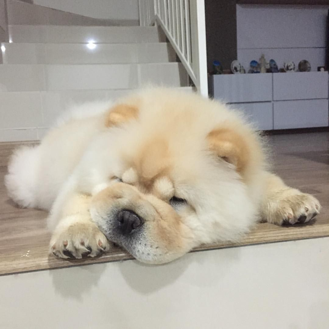 Pin By Unicornz On Puppies Chow Chow Puppy Chow Chow Dog