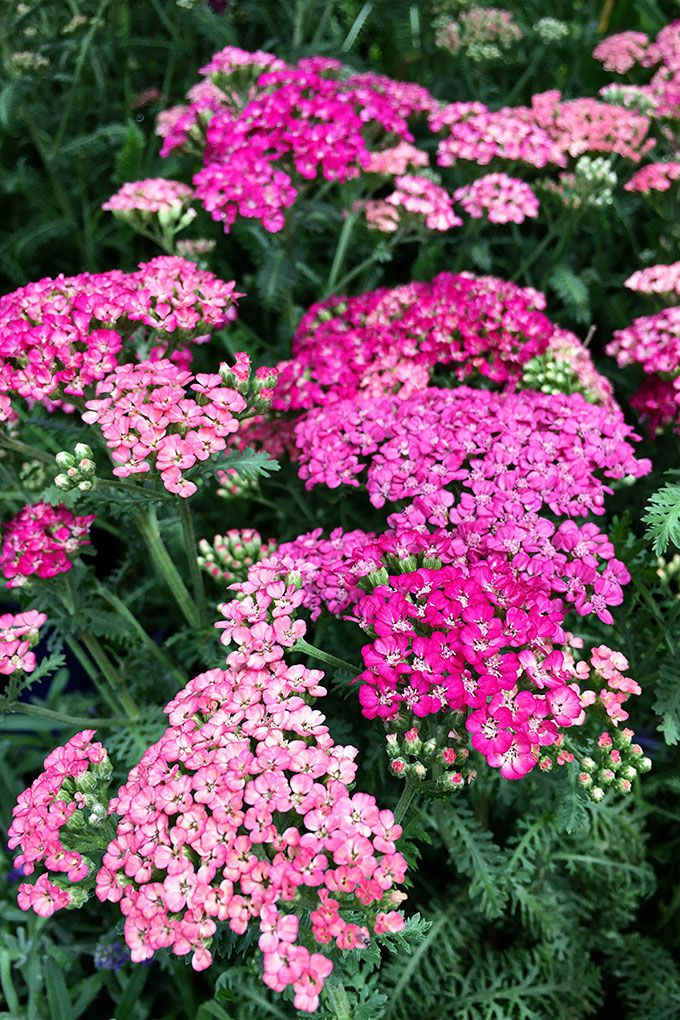 5 favorite late summer flowers late summer planting and flower 5 favorite late summer flowers house of hawthornes mightylinksfo