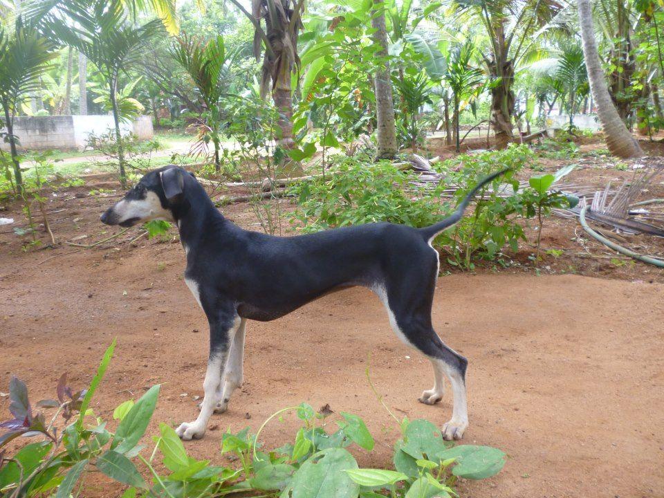 Chippiparai hound photo | Kanni/Chippiparai Dog - A beautiful Collection | Chippiparai Dog