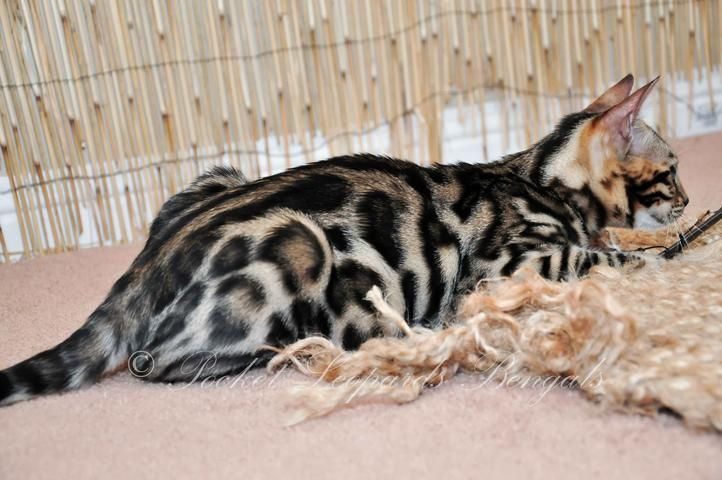 Bengal Cats For Sale Ca