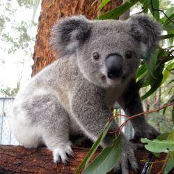 cute koalas - Google Search … | Australia animals, Baby ...