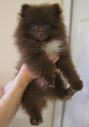 Brown pomeranian - photo#14