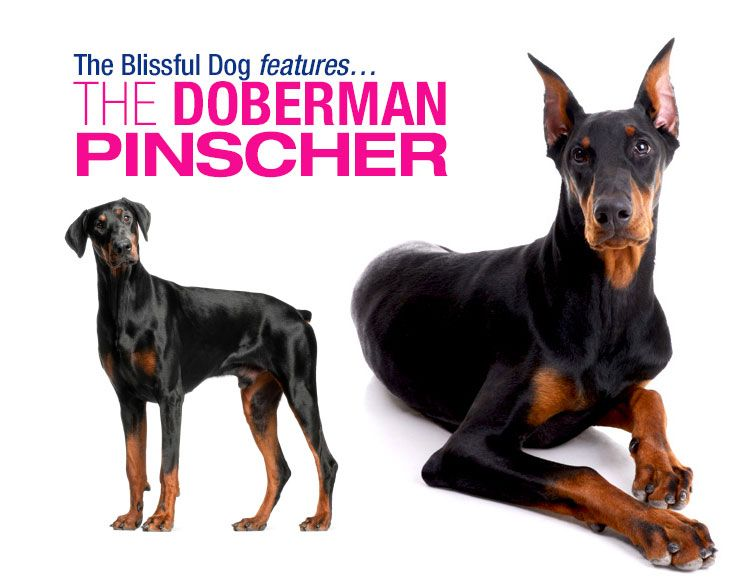 The Doberman Pinscher Is One Of The Few Breeds Which Can Be Traced