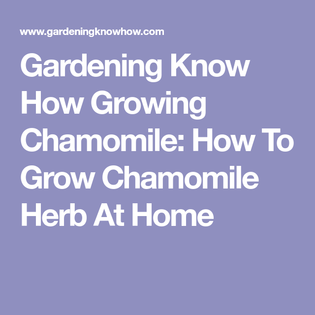 Gardening Know How Growing Chamomile How To Grow 400 x 300