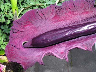 penis bell shaped Wonderful purple