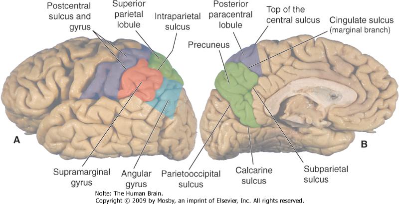 Parietal Lobe Damage Effects | Parietal Lobe Damage ...