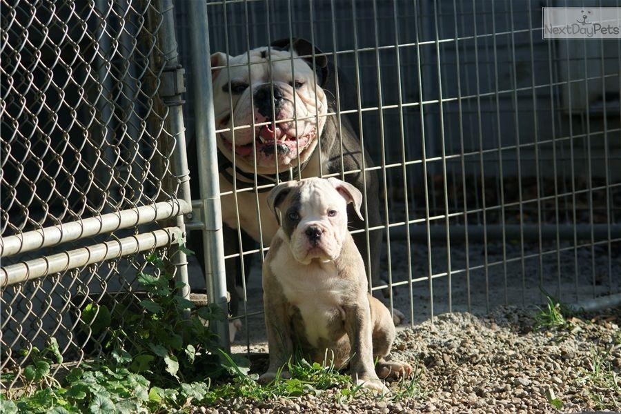 Olde English Bulldogge puppy for sale near Cleveland, Ohio