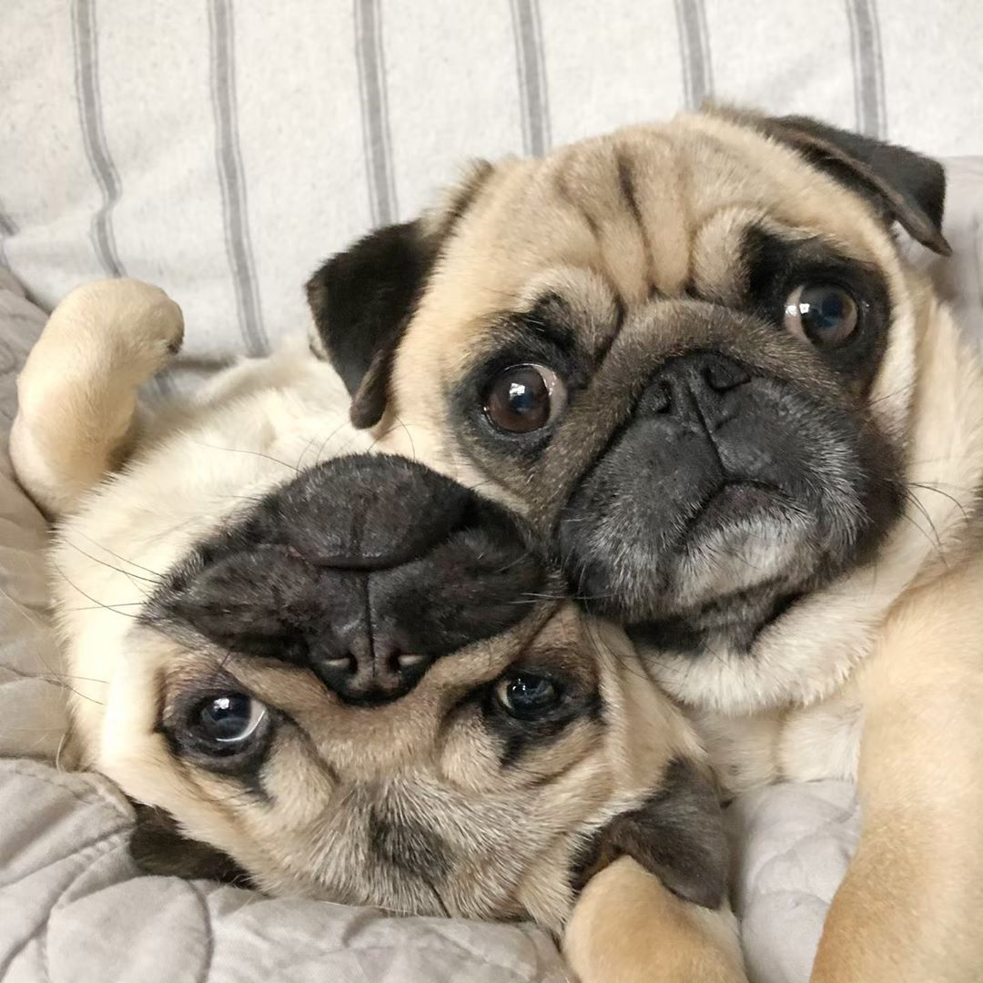 Pin By Espi O On Pugs In 2020 Cute Pugs Baby Pugs Pugs