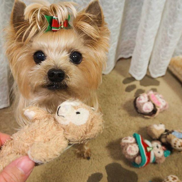 Yorkshireterrier Yorkie Instayork Instadog Yorkielove Yorkielife Yorkieboy Instayorkie Doglife Ilovedog Cutedog ヨーキー ヨーク Cute Dogs Teddy Bear Dogs
