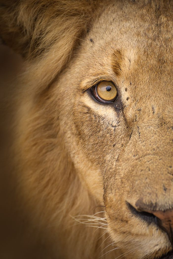 Wildlife Photography Gear Review Sigma 120 300mm F2 8 Dg Os Hsm Sports Lion Photography Lion Eyes Close Up Lion Eyes