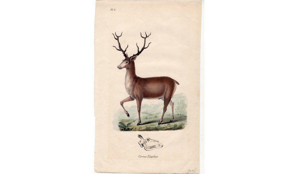 Antique Print 19thc Red Deer Print Rare Original Antique Etsy Antique Prints Deer Print Red Deer