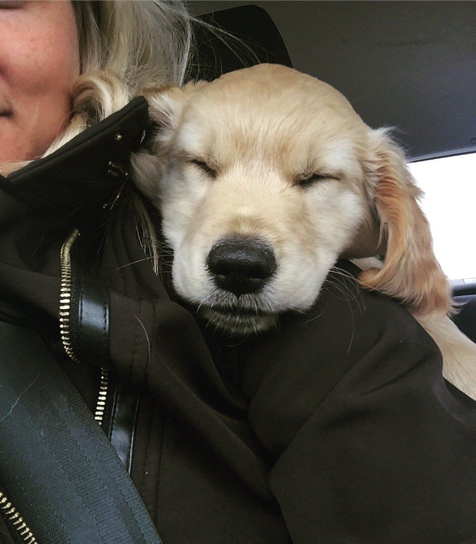 Sleepy Golden Retriever Puppy Riggins Is A Full Bread American